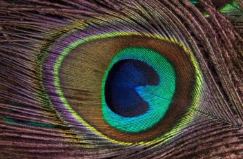 peacock-feather-186339_960_720