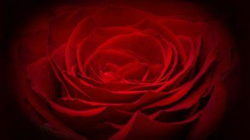 rose-266611_1920